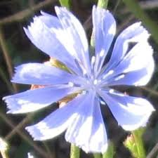 Chicory - growing guide resources