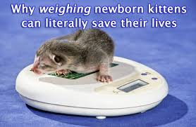 Kitten Weight Chart Ounces Weighing Newborn Kittens And How This Could Save Their