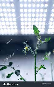 Light Farm Plant Grow In Led Light Farm N Norganic Hydroponic Tomato