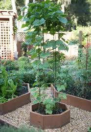 pole beans growing on a bean tower in a small raised bed