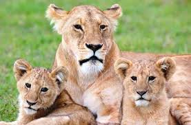 Image result for female lion and cub