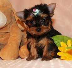 teacup yorkie puppies for adoption. Interesting Teacup HUSTON YORKIE PUPPIES And Teacup Yorkie Puppies For Adoption ASNClassifiedscom