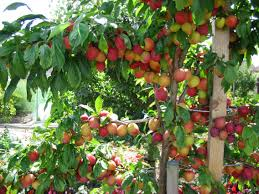Plum Tree Not Fruiting Part  22 Gardening Know How  Home Plum Tree Not Producing Fruit