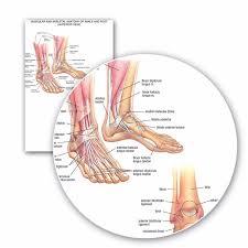 Ankle Bone Chart 60x90cm Educational Muscular Skeletal Ankle Posters Silk
