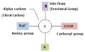 Amino Acid Characteristics Chart Amino Acids Structure Advantages Properties Classification