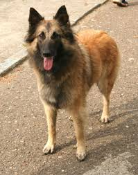 belgian tervurens bond closely with their families and will protect them fiercely