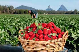 Pick your own <b>fruit</b> Queensland