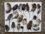muizen of ratten in huis