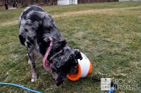 dog inspecting ball thrower