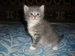 Картинки по запросу котёнок шотландец 1 месяц