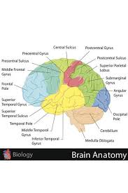 Brain Chart Laminated Human Brain Anatomy Regions Labeled Educational Chart Sign Poster 18x12 Inch