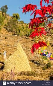 Weihnachtsstern Bäume Blühen Im Himalaya In Der Nähe Von