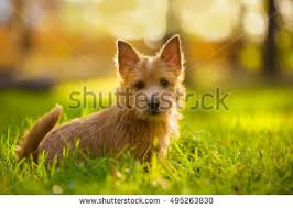 summer outdoor backgrounds. Norwich Terrier Puppy Sitting In The Grass Summer Outdoor Background Backgrounds D