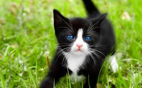 black and white kitten with blue eyes. Beautiful With Youu0027re Downloading Preview If You Want The Picture In Full Resolution Use  This Link To Download To Black And White Kitten With Blue Eyes