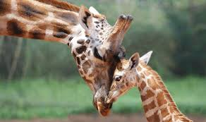 picture of a giraffe. Beautiful Picture Misha The Giraffe Died At Perth Zoo For Picture Of A Giraffe