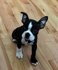 Puppy Growth Chart Walter Boston Terrier Male