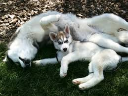 Siberian Husky Puppy Pictures First 3 Months