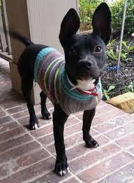 black french bulldog full grown. Delighful Black French Bullhuahua Full Grown And Black Bulldog U
