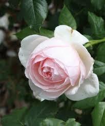 Garden Centre Kitchener Buy Rose David Austin Rose English Rose In Kitchener