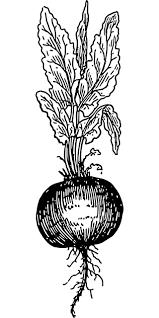 Free Image On Pixabay Beet Beetroot