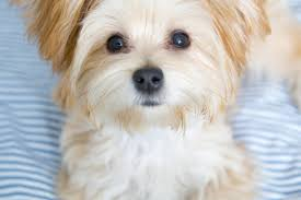Morkie Puppy Weight Chart Morkie Puppies Facts And Videos Lovetoknow