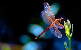 Dragonfly Wallpapers - Top Free ...