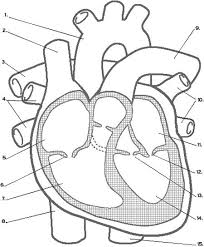 cff8c616bd30434b035a5ce90b3c07e2 circulatory system cardiovascular system activities 25 best ideas about respiratory system on pinterest systems on the human respiratory system worksheet