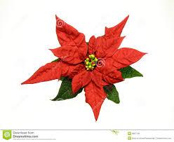 Red poinsettias Christmas flower