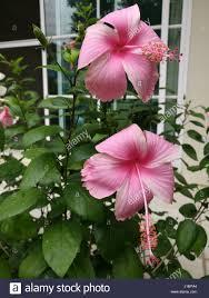 Light Pink Hibiscus Light Pink Hibiscus Flowers Stock Photo 138556604 Alamy