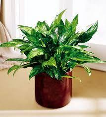 low maintenance office plants. Indoor Plants Low Light | Cozy Bliss » 11 Maintenance For Home And Office A