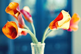Calla Lily Color Chart Calla Lily Meaning And Symbolism Ftd Com