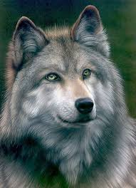 gray wolf drawing colored. Interesting Colored Grey Wolf By Colin Howard With Gray Drawing Colored F
