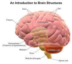 Structure And Function Of The Brain Boundless Psychology