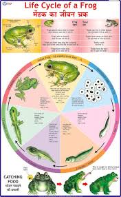 Life Cycle Of Frog Chart Vidya Chitr Prakashan 4226 B 1