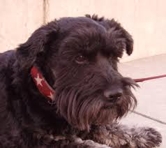 scottish terrier mix. Beautiful Terrier HalfScottie For Scottish Terrier Mix T
