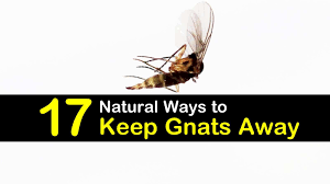 Fungus Gnats Attracted To Light 17 Natural Ways To Keep Gnats Away