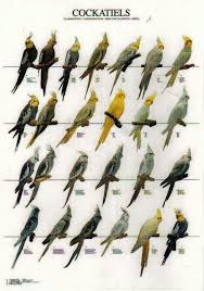 Cockatiel Chart Cockatiels Cockatiel Pet Birds Cockatiel Cage