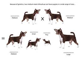 dog breed size chart the pros cons of teacup chihuahuas the dog guide