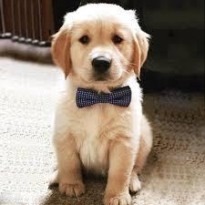 golden retriever. Simple Retriever AKC Golden Retriever PuppiesText Us  216 9307599 For