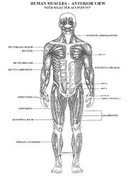 Small Picture Anterior Muscles Anatomy Coloring Pages ColoringMusclesPrintable