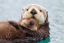the otters also control populations of urchins that would otherwise mow down kelp forests and take out entire ecosystems