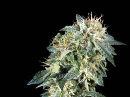 Sensi Seeds Northern Lights Grow How To Grow The Potent Northern Lights Marijuana Strain