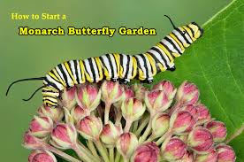 starting a monarch erfly garden is an exciting journey that yields great rewards if you