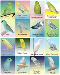Lovebird Color Mutations Chart Pacific Parrotlet Color Mutation Chart Pacific Parrotlet