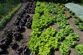 The Kitchen Garden Filegoodnestone Park Different Types Of Lettuce Growing Well In