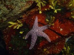 best starfish images starfish ocean life and stars ketchikan ak starfish