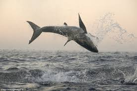 great white shark jumping.  Great A 15footlong Great White Shark Jumps Eight Feet Into The Air While For Great White Shark Jumping