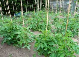 tomatoes planted in single rows from tomato dirt via morning ag clips image morning ag clips