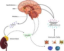 Hpa Axis Dynamics Of The Hpa Axis And Inflammatory Cytokines Insights From