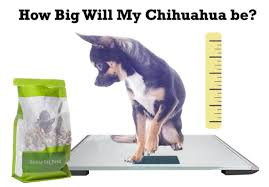 Chihuahua Weight Chart In Kg Chihuahua Puppy Growth Chart
